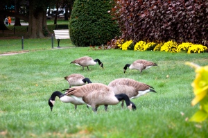 Canadian Geese in Boston Commons