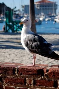 Sea Gull Catalina Island