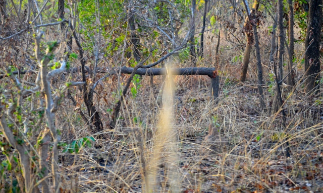 Bent trees are the handy work of elephants.  When they can't reach the leaves they just push the tree over.
