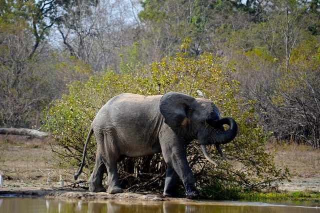 One of two elephants we discovered at a water hole in Mole National Park.